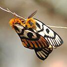 Western Sheep Moth by Arla M. Ruggles