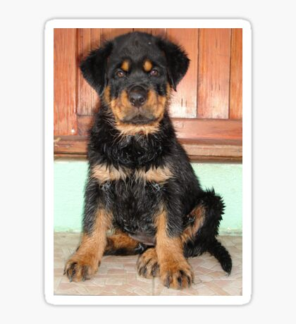A Discontented and Wet Rottweiler Puppy  Sticker