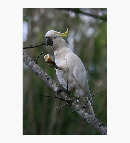 Sulphur Crested Cockatoo Photographic Print