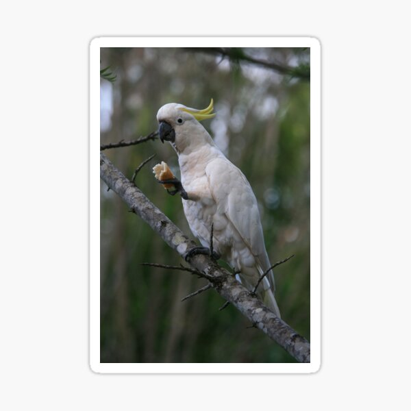 Sulphur Crested Cockatoo Sticker