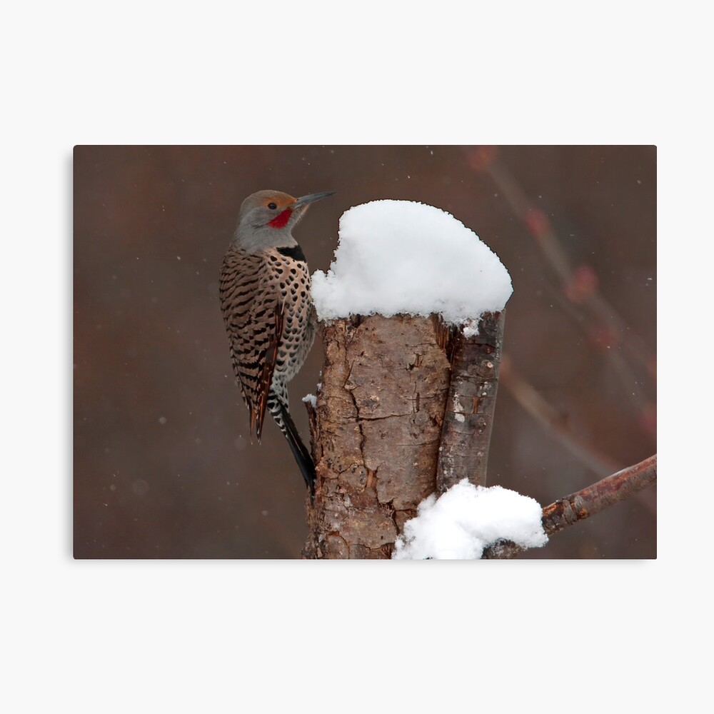 Flicker in the Snow Canvas Print
