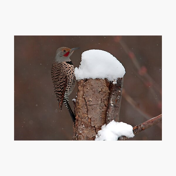 Flicker in the Snow Photographic Print