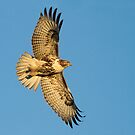 122112 Red Tailed Hawk by Marvin Collins