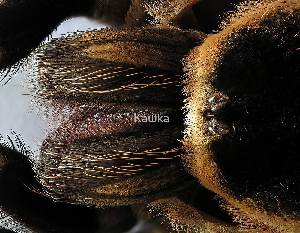 Shed Skin of Mexican Redknee Tarantula by Kawka