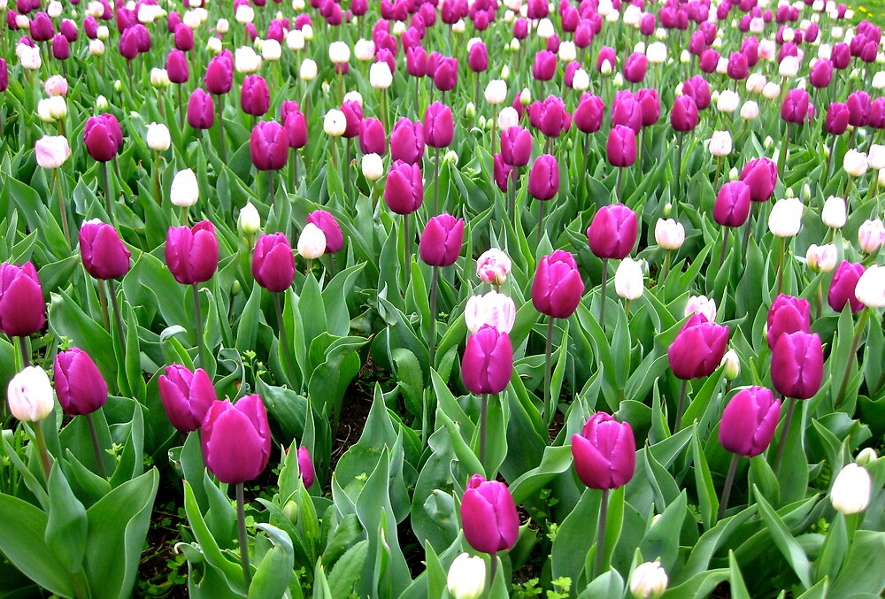 Field of tulips by freshairbaloon