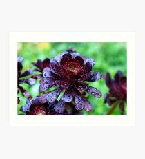 Dewdrops on Purple Aeonium Art Print