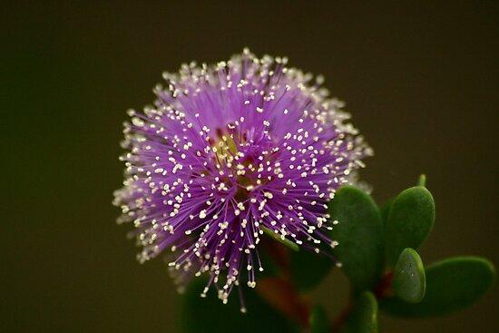 Purple Showy Honey-Myrtle (Melaleuca) by Erland Howden