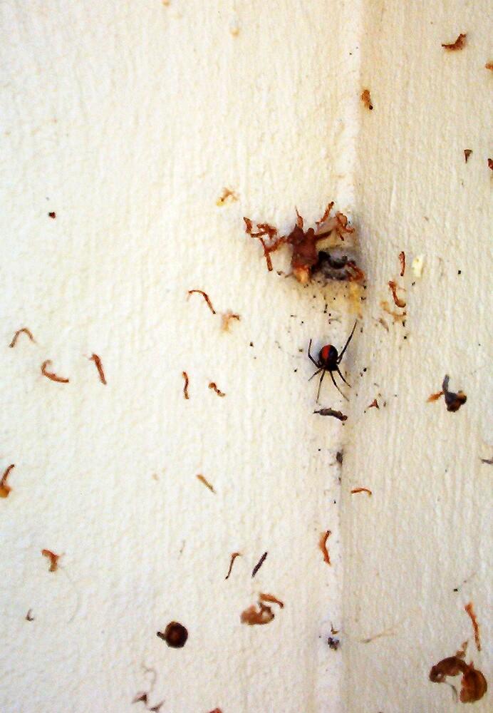 Redback Spider - 22 12 12  by Robert Phillips