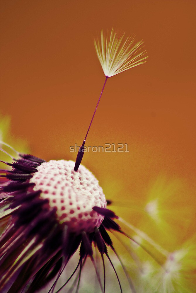 Sunset Dandelion by sharon2121