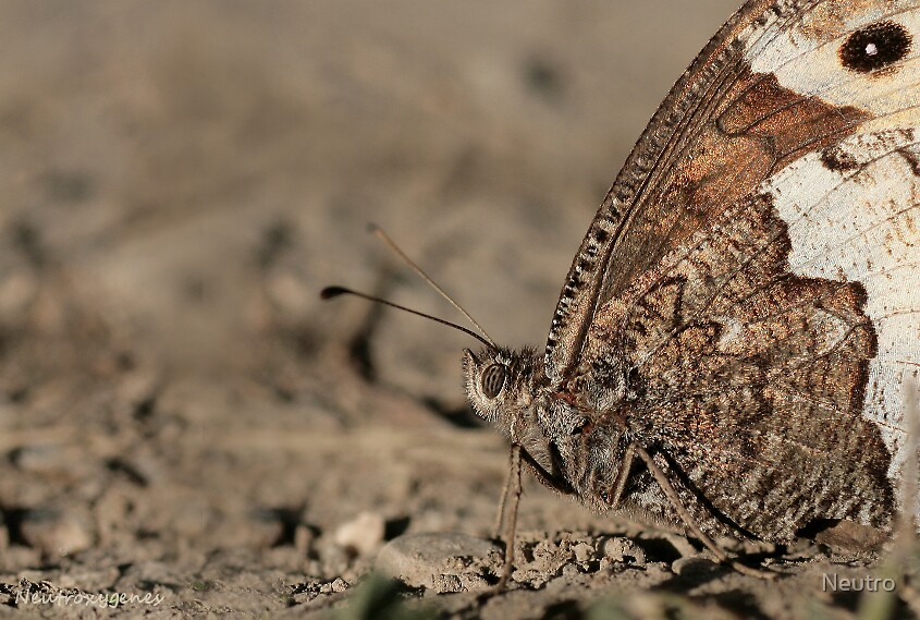 Brown butterfly by Neutro