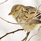 A Sparrow A Day by lorilee