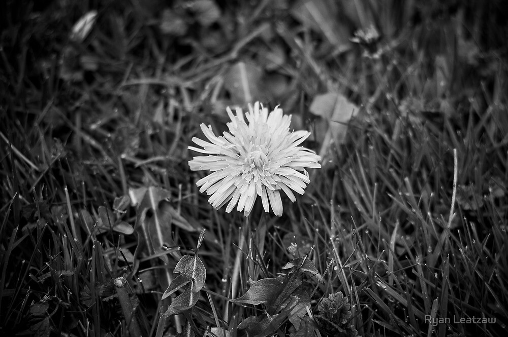 Dandelion by Ryan Leatzaw