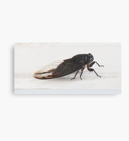 Cicada - the noisiest bug in the insect world Canvas Print
