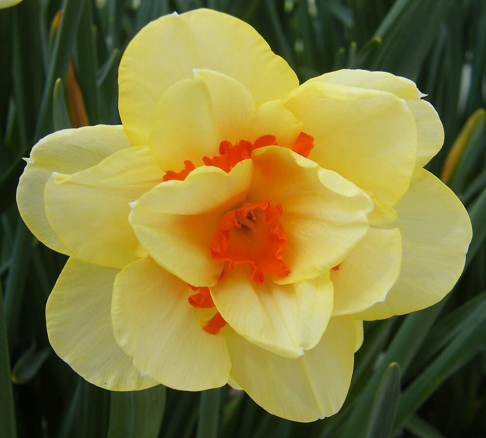 Yellow Daffodil by nag71
