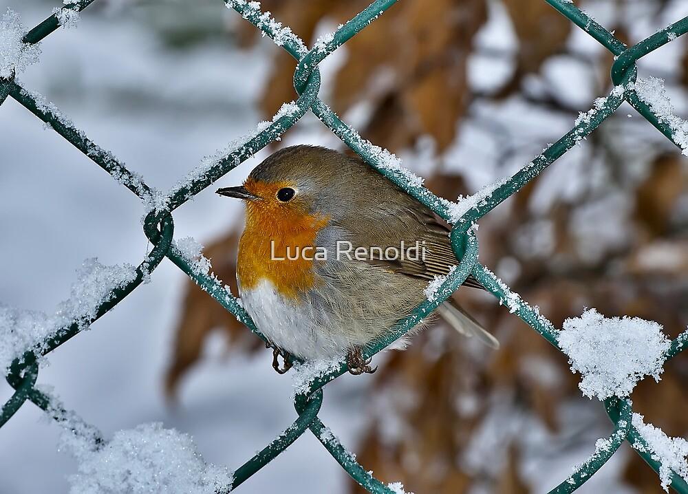 Robin by Luca Renoldi