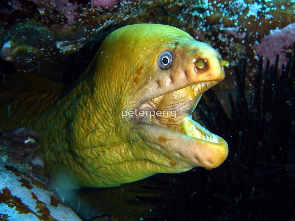 Mooray Eel by peterperry