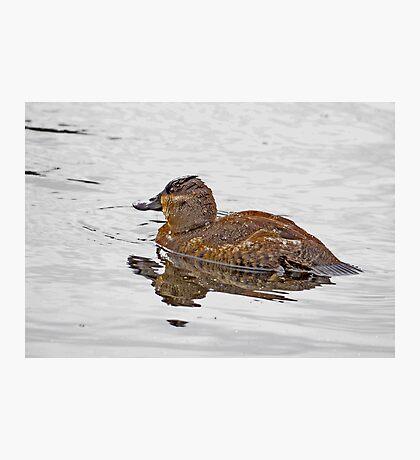 Ruddy Duck Enjoying a Quite Christmas Morning Photographic Print
