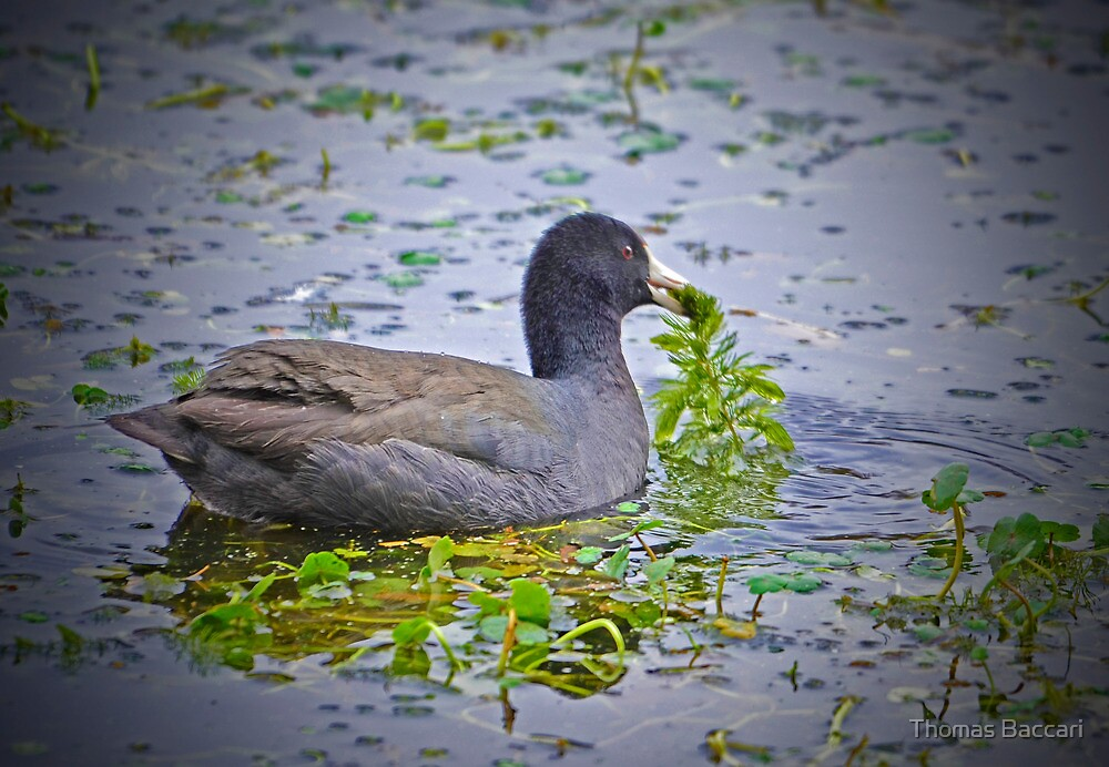 Great American Coot Enjoy Christmas Morning Breakfast by TJ Baccari Photography