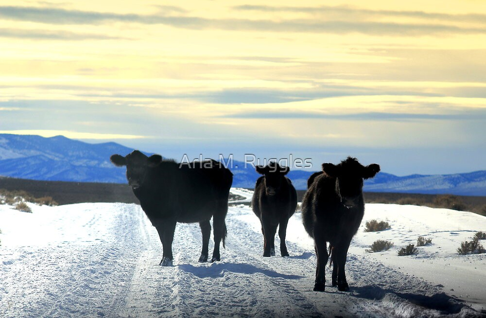 Cool Cows by Arla M. Ruggles