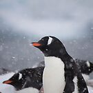 Penguin 009 by Karl David Hill