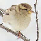 Sparrow On A Frosty Morning by lorilee