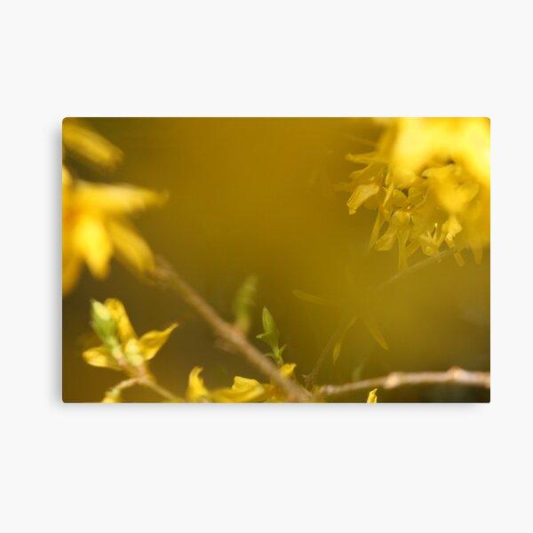 Spring Yellow ~ Forsythia Canvas Print
