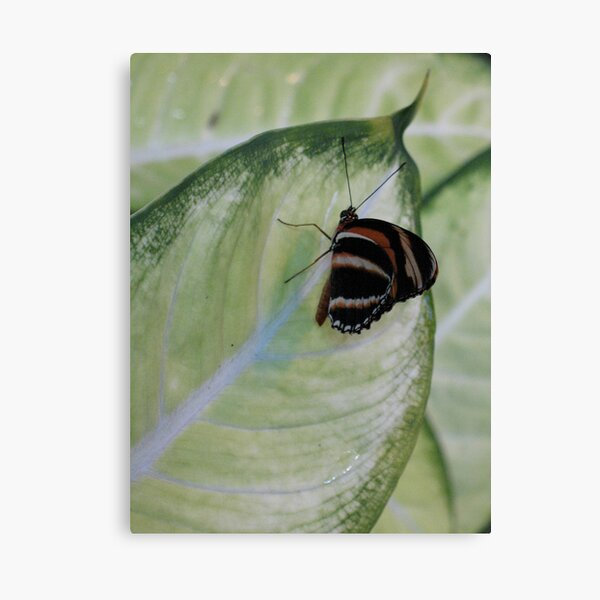 Lil' Wing Canvas Print