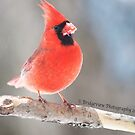 Cardinal by Penny Fawver