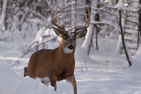Male deer - Buck - Ottawa, Canada by Josef Pittner