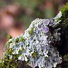 December Lichens by Carla Wick/Jandelle Petters