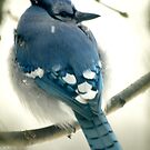 Blue Jay by Sian Houle