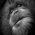 A sage Orangutan preparing to share something wise.  by alan shapiro