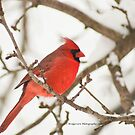 Cardinals and snow just go together by Penny Fawver