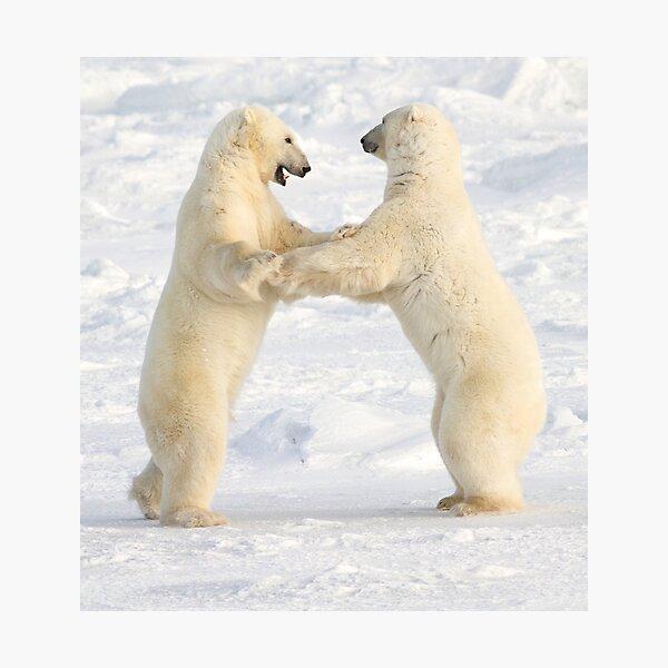 Dance of the white bears (II) Photographic Print