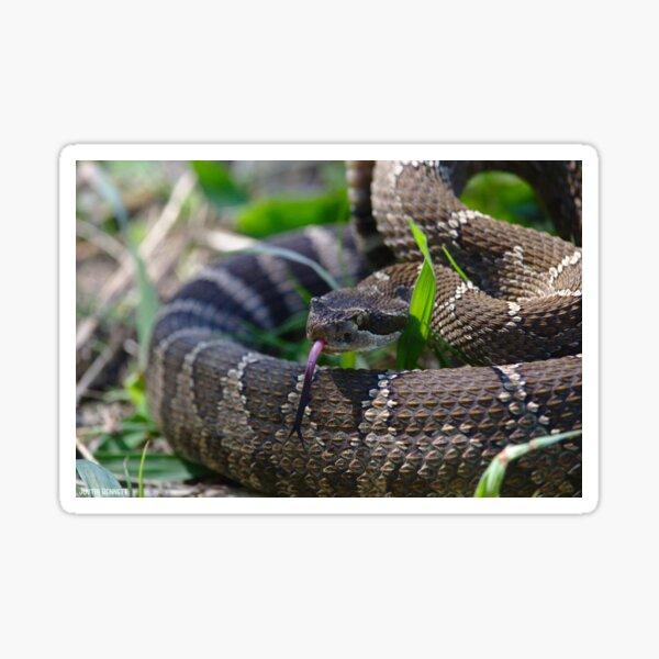 Northern Pacific Rattlesnake sniffing around Sticker