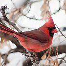Cardinal by JoeDavisPhoto