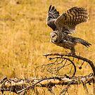Great Grey Owl by Rose Vanderstap