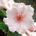 Gentle Flower: Rhododendron Gardens, Burnie, Tasmania, Australia by linfranca