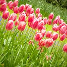 Tulips by pahas