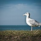 Seagull by pahas