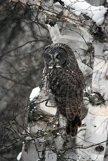 Great Gray Owl by Vickie Emms