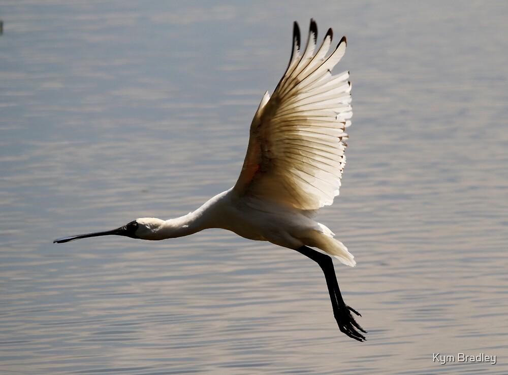 Royal Spoonbill in flight by Kym Bradley