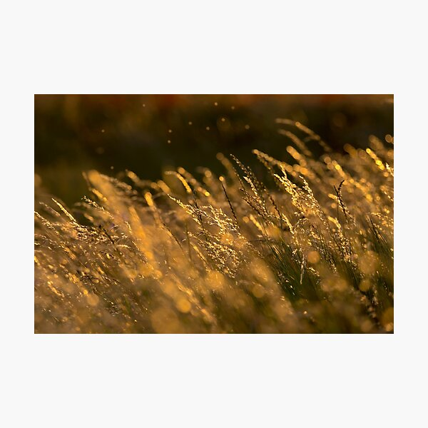 Summer Grasses 2 Photographic Print