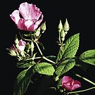 Wild Pink Rose by Sharon Woerner