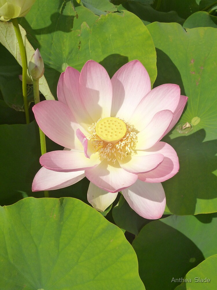 Expanding Lotus - Opening to the sunlight and other possibilities by Anthea  Slade