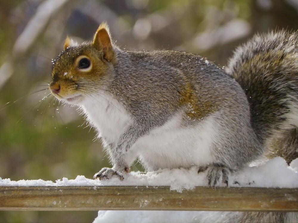 Snow Squirrel by Pamela Phelps