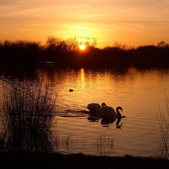 Swan Couple at Sunset by EdPettitt