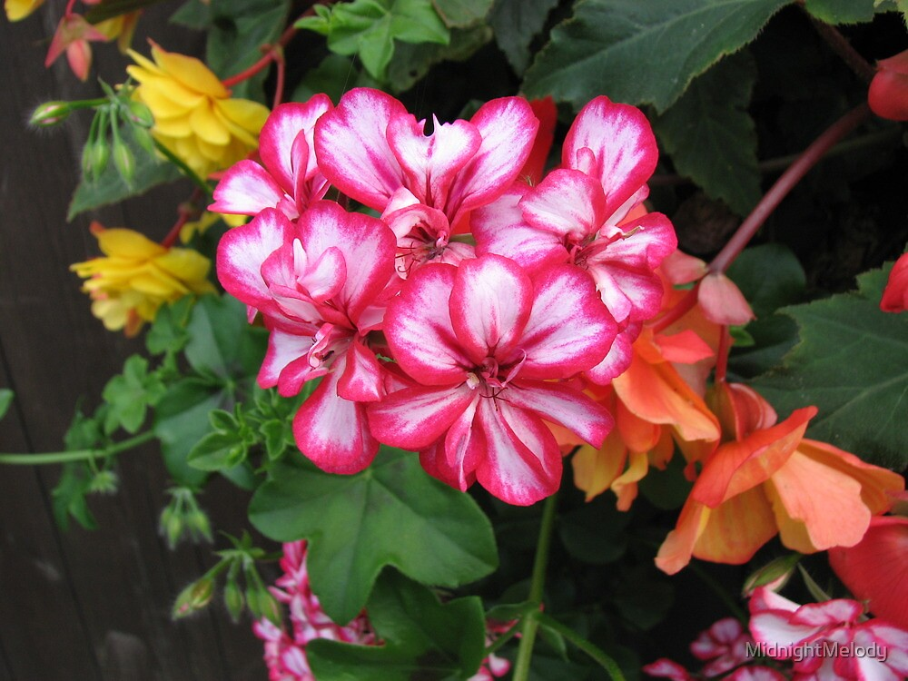 Pretty-in-Pink Geraniums and Orange Begonias by MidnightMelody