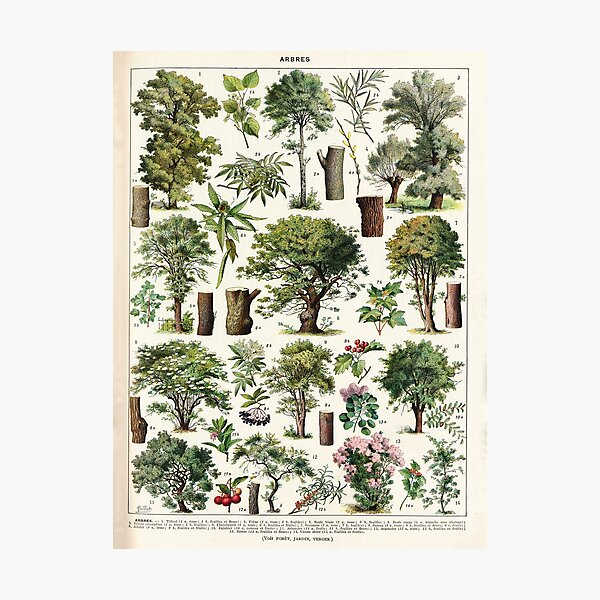 Adolphe Millot - Arbres A - French vintage botanical poster Photographic Print