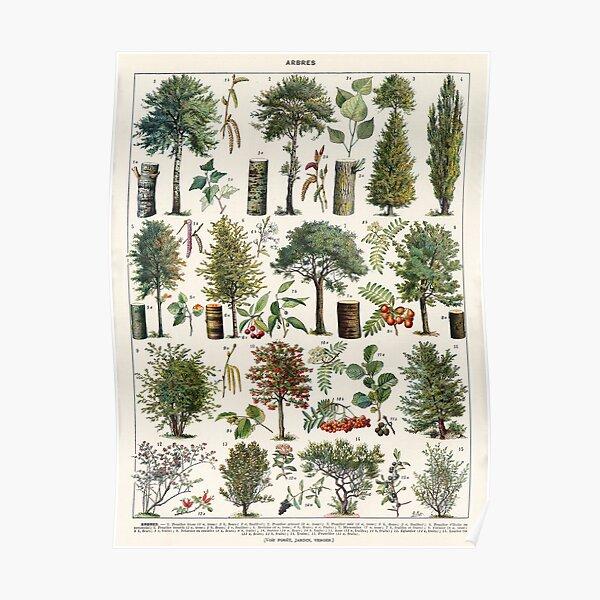 Adolphe Millot - Arbres B - French vintage botanical poster Poster